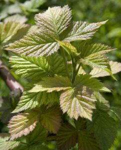 Junge Brombeerblätter